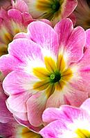 Primulas in private garden, Southern Oregon coast, USA