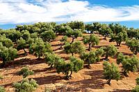 Olive grove. Almodóvar del Río, Córdoba province, Spain