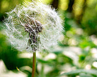 Dandelion (Taraxacum officinale) seed head
