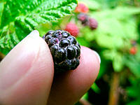 Picking blackberries (detail).  Appalachian foothills, Southeast Ohio, USA