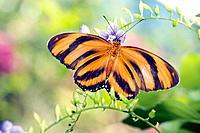 Orange Tiger (Dryadula phaetusa). El Salvador