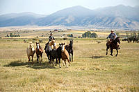 Cowboys rounding up horses. Montana, USA