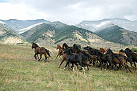 Horses stampeding across the range. Montana, USA