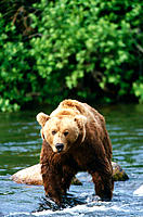 Grizzly Bear (Ursus horribilis). Katmai National Park, Alaska, USA