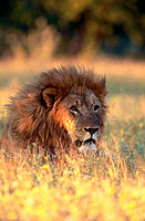 Lion (Panthera leo), male portrait in the evening after the hunt. Etosha National Park, Namibia