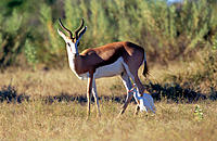 Springbok (Antidorcas marsupialis) with Cattle Egret. Etosha National Park, Namibia