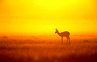 Springbok (Antidorcas marsupialis), silhouette at sunset. Etosha National Park, Namibia