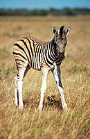Burchell's Zebra (Equus burchelli), young fole. Etosha National Park, Namibia