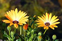 Cape_daisy, Osteospermum hybrid ´orange´ bloom buds,