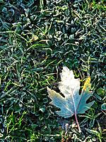 Autumn, beginning of autumn, autumnal colours, autumn month, autumn leaf, white frost, maple leaf, nature, cold, hoarf