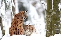Lynx lynx, European Lynx, Bavarian Forest, national park, Bavaria, Germany, Europe, winter, snow, white, animal, anima