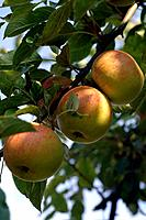 Apples in the apple tree