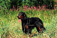 Gordon Setter _ standing on meadow