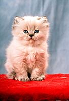 young Persian cat _ sitting on blanket