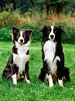 two Border Collies _ sitting on meadow