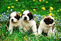 three Saint Bernard puppies _ sitting on meadow