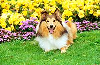Sheltie _ lying in front of flowers