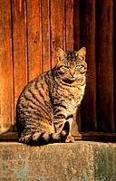 tabby domestic cat _ sitting