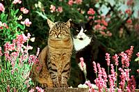 two domestic cats _ sitting next to lavender