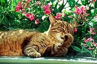 tabby domestic cat lying in front of flowers _ licking paw