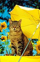 tabby domestic cat _ sitting under sunshade
