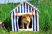 Collie puppy in doghouse