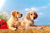 two young Golden Retrievers _ lying on straw