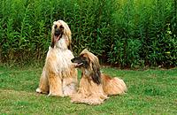 two Afghan Hounds on meadow