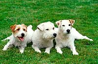 three Parson Jack Russell Terriers _ lying on meadow