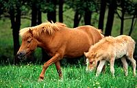 Icelandic horse _ mare with foal on meadow