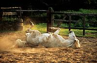 Camargue horse _ rolling in sand