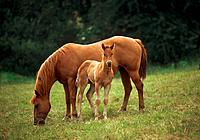 Quarter Horse _ mare with foal standing on meadow