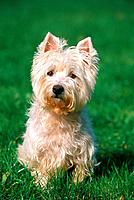West Highland White Terrier _ sitting on meadow