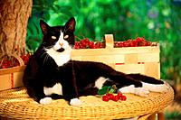domestic cat _ lying in front of basket with cherries