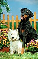 Doberman and West Highland White Terrier _ sitting between flowers