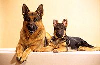 German Shepherd dog with puppy _ lying