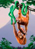 two orangutans _ hanging on snake / Pongo pygmaeus