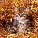 Persian cat _ kitten sitting in straw