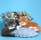 Persian cat _ two kittens lying on pillow