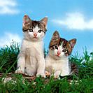 two young domestic cats on meadow