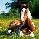 Pinto horse _ foal lying on meadow