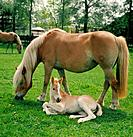 Haflinger _ mare with foal on meadow