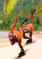 two orangutans with Inline Skates / Pongo pygmaeus