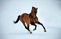Akhal_Teke _ running in snow