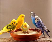 five budgerigars at bowl with sand / Melopsittacus undulatus