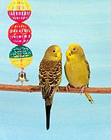 two budgerigars with toy / Melopsittacus undulatus