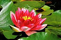water lily / Nymphaea