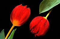 two tulips / Tulipa