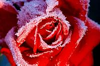 red blossom of a rose with rime / Rosa