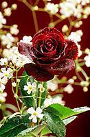 rose _ crimson / Rosa